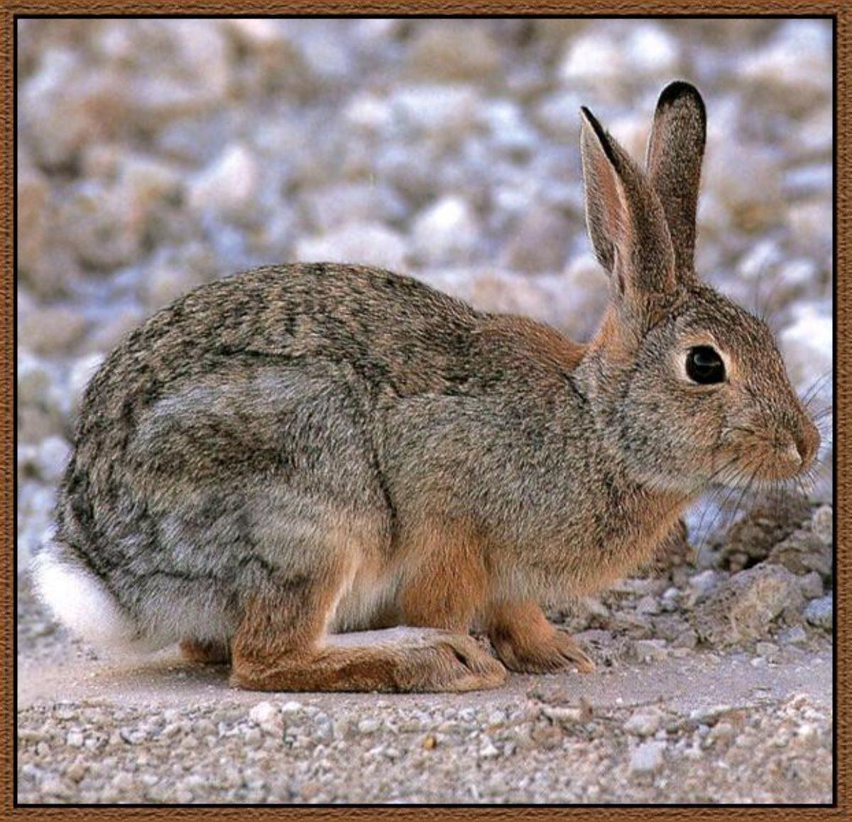 Rüyada Ada tavşanı görmek