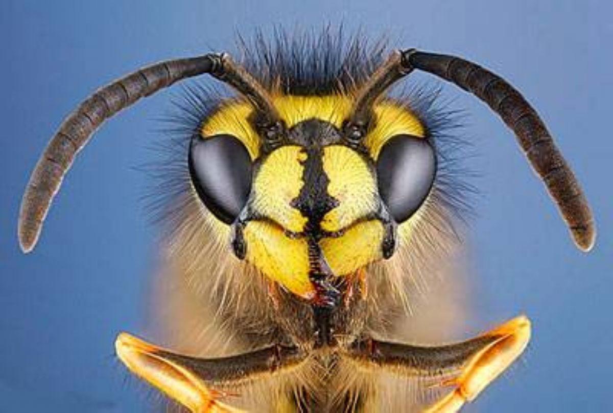 Rüyada Yaban arısı görmek