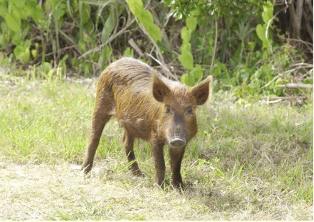 Rüyada Yaban domuzu görmek